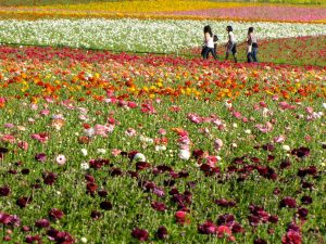Carlsbad, Calif., Flower Fields